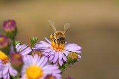 Un'ape sul crisantemo del fiore fotografia stock