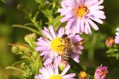 Un'ape sul crisantemo del fiore fotografia stock libera da diritti