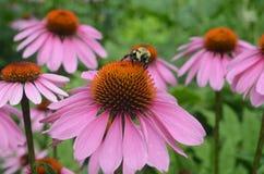 Un'ape sul fiore fotografie stock