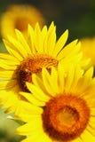 Un ape sul girasole fotografie stock