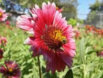 Un'ape in un fiore Fotografia Stock