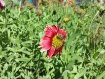 Un'ape in un fiore Fotografie Stock