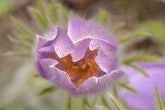 Un'apertura del fiore di pasqua nella primavera Fotografia Stock Libera da Diritti