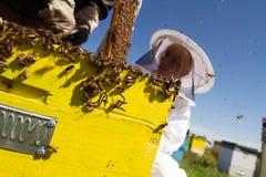 Un apicultor de la mujer que comprueba el panal de una colmena Fotografía de archivo libre de regalías