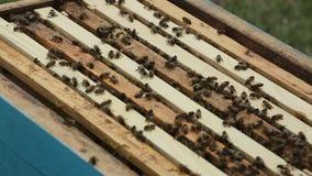 Un apicultor en el colmenar entre colmenas almacen de video