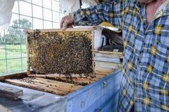 Un apicultor mayor está sosteniendo el panal de las abejas con las abejas en su mano Abeja de la miel apiary Imagen de archivo