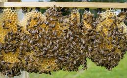 un apicultor que trabaja con la abeja quen cels Foto de archivo