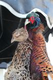 Un apoyo de faisanes, un pájaro de juego popular, colgando fuera de un tra fotografía de archivo libre de regalías