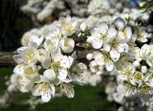 Un Apple-arbre dans la pleine fleur Photographie stock