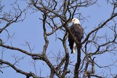 Un'aquila calva in un albero Fotografia Stock Libera da Diritti