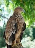 Un'aquila del falco immagini stock