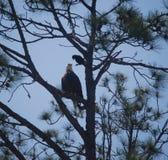 Un'aquila e un corvo fotografie stock