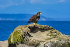 un'aquila sta sedendosi sulla roccia dal mare immagine stock libera da diritti