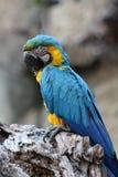 Ara blu e gialla Fotografia Stock Libera da Diritti