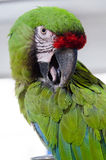Un ara verde asombroso Foto de archivo libre de regalías