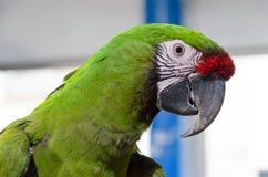 Un'ara verde e rossa stupefacente Immagini Stock Libere da Diritti