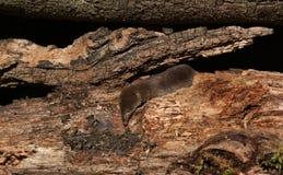 Un araneus del Sorex de la musaraña común de la caza Imagen de archivo libre de regalías