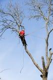 Un arboricoltore che taglia un albero Immagine Stock Libera da Diritti