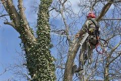 Un arborista que usa una motosierra para cortar un árbol de nuez Foto de archivo libre de regalías