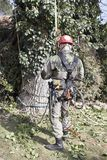 Un arborista que usa una motosierra para cortar un árbol de nuez Fotografía de archivo libre de regalías