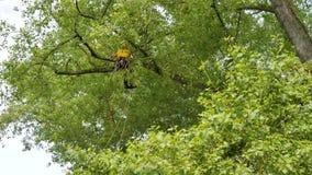 Un arborista que usa una motosierra para cortar un árbol de nuez, poda del árbol Fotografía de archivo