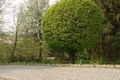 Un arbre à feuilles caduques grand luxuriant énorme en parc près de l'allée a garni des tuiles photo libre de droits