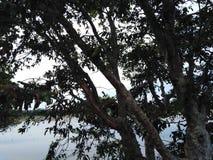Un arbre énorme devant les feuilles foncées d'un lac images stock