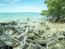 Un arbre avec l'enroulement s'enracine sur le rivage de la baie d'océan photo stock