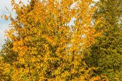 Un arbre avec les feuilles jaunes et un arbre impeccable dans la chute photographie stock libre de droits