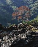 Un arbre avec les feuilles oranges accroche au-dessus de la rivière le Mékong photo libre de droits