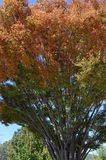 Un arbre d'automne Images libres de droits