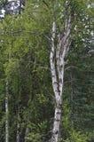 Un arbre de bouleau Images libres de droits