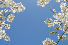 Un arbre de cornouiller Photos stock