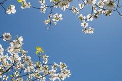 Un arbre de cornouiller Images libres de droits