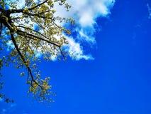 Un arbre de cornouiller avec les fleurs jaunes contre un ciel bleu une journée de printemps photos stock