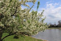Un arbre de fleur blanche près d'un lac photos stock