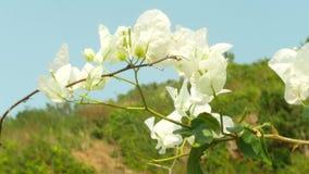 Un arbre de fleurs blanches en parc tropical, 4k, tache floue clips vidéos