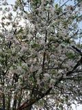 Un arbre de floraison dans blanc, ressort photo libre de droits