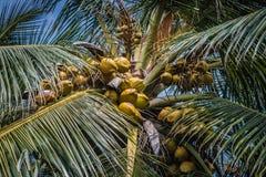 Un arbre de palmtree dans Sri Lanka photos stock