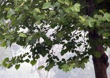 Un arbre de Phoenix Photo libre de droits