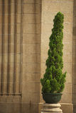 Un arbre de pin Image stock