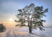 Un arbre de pin isolé Images stock