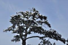 Un arbre de pin parfait de neige photographie stock libre de droits