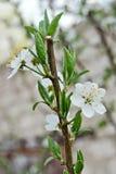Un arbre de ressort de brin en fleur Image libre de droits