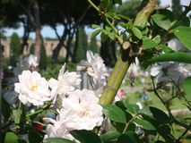 Un arbre des roses roses avec après tout un bâtiment antique de Rome historique l'Italie Rome Photo libre de droits