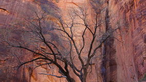 Un arbre en Zion Canyon Images stock