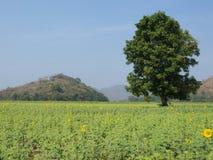 Un arbre et le champ des tournesols image libre de droits
