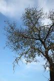 Un arbre et un ciel d'amande grands Photo stock