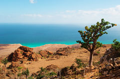 Un arbre fleurissant de bouteille sur le chemin à la caverne de Hoq, île de Socotra, Yémen Photos stock