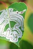 Un arbre infesté avec des insectes de mineur de feuille Image stock